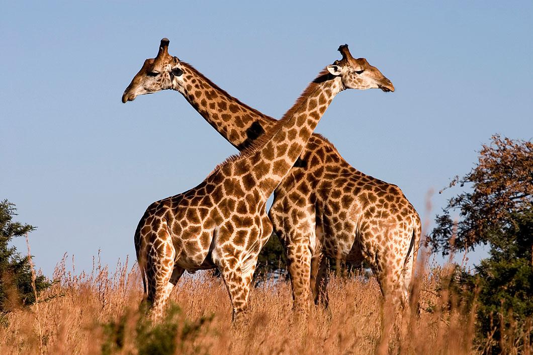D'après l'UICN, les girafes sont désormais menacées d'extinction