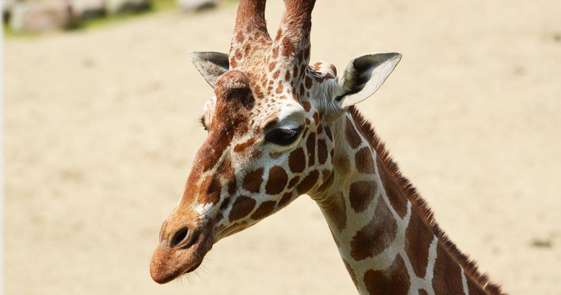 girafe-extinction-une