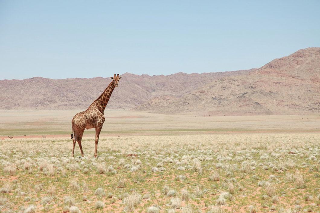 Une fois isolées à cause de la destruction de leur habitat, les girafes ne trouvent plus ni nourriture ni partenaires sexuels