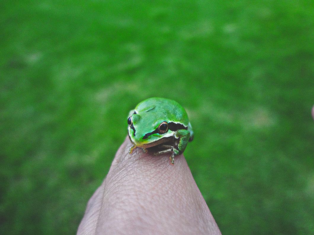 grenouille-verte