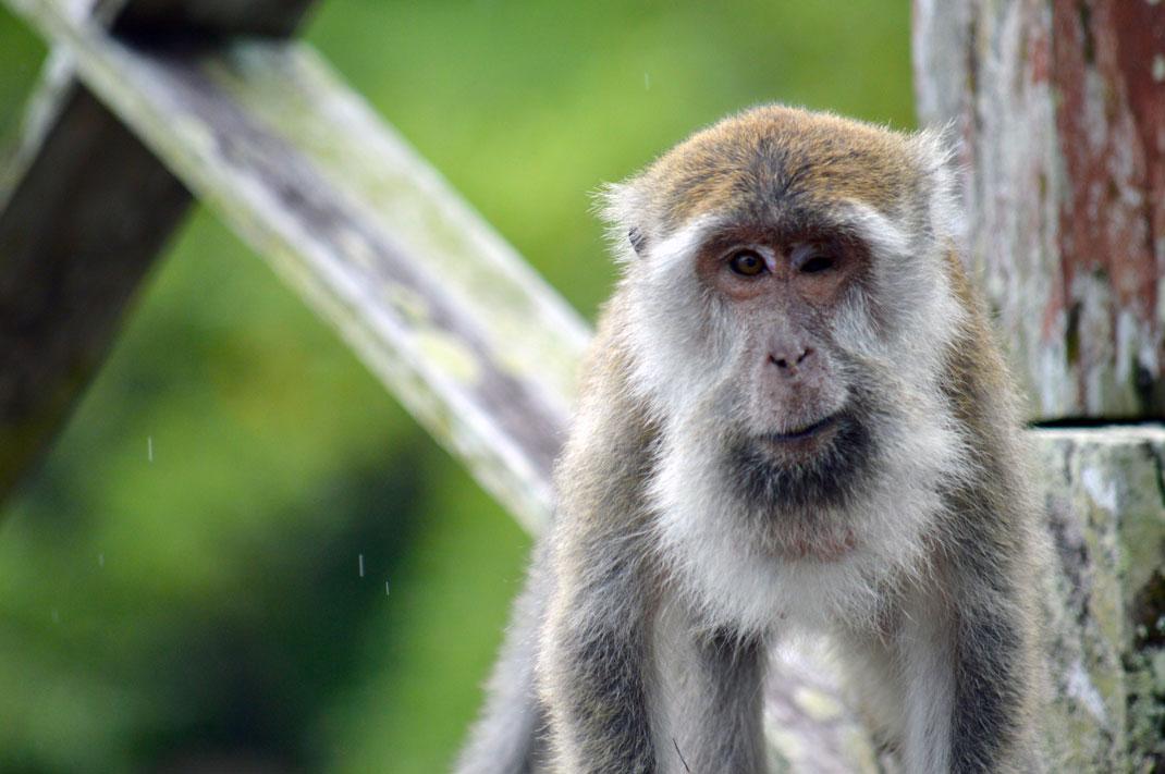 Un vieux macaque