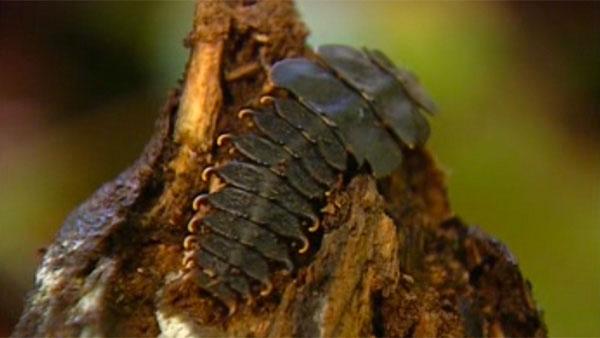 larves-de-trilobites