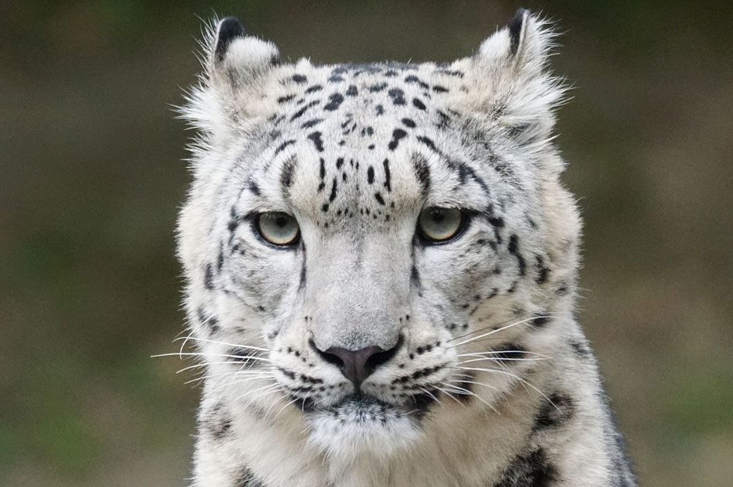 leopard-neige