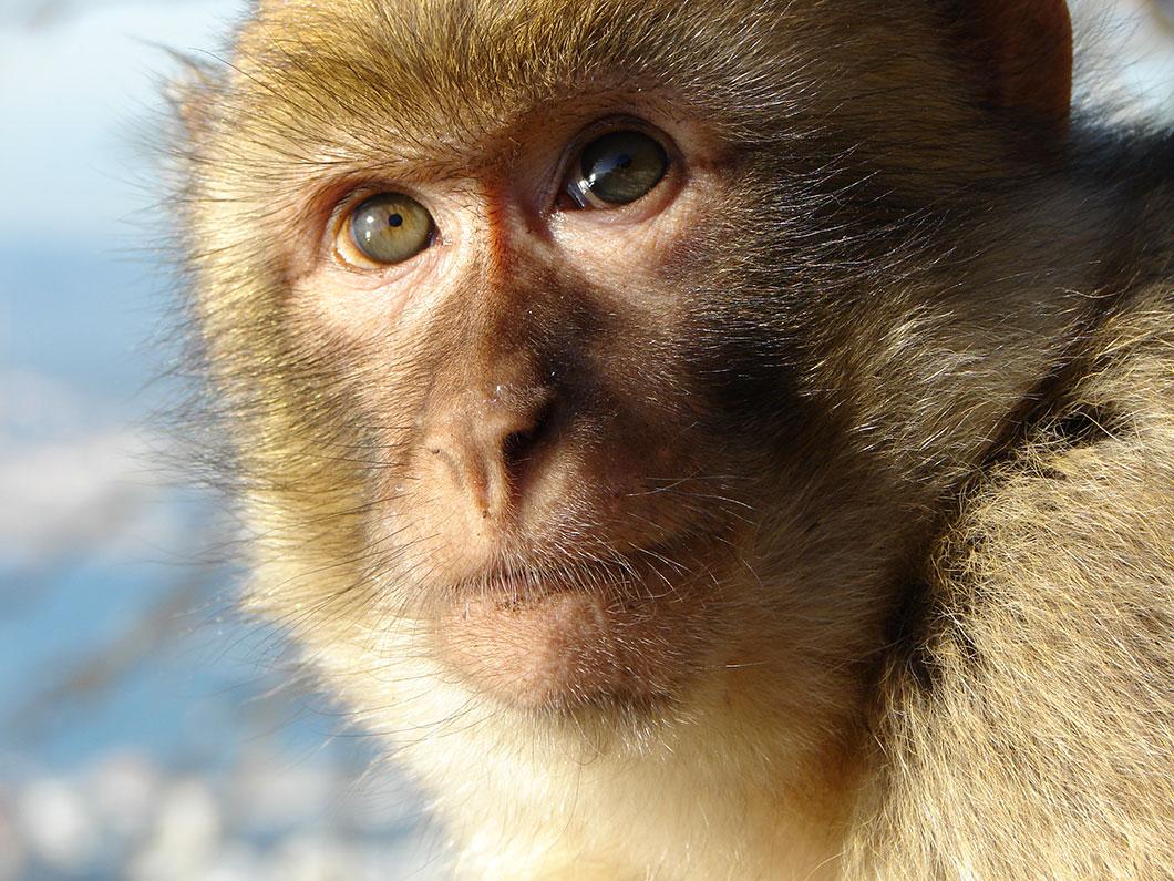 macaque-singe
