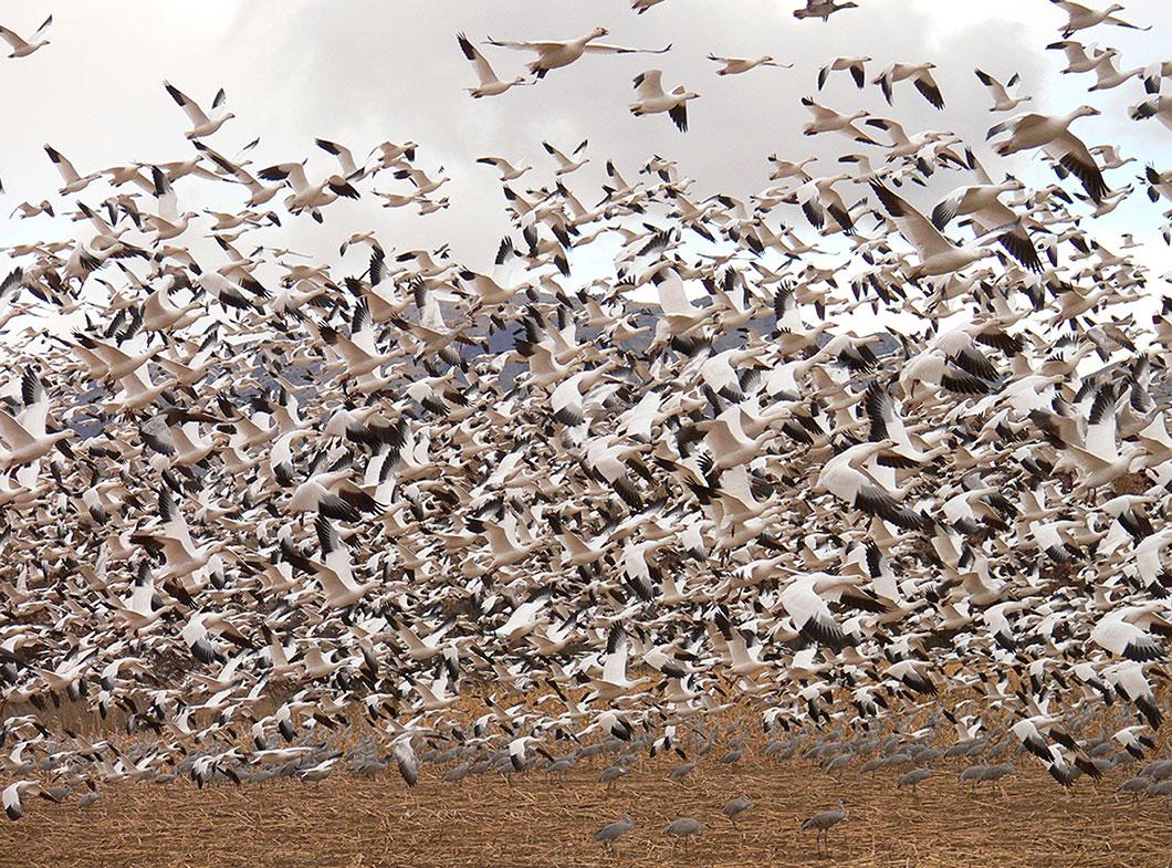 Le réchauffement climatique retarde les migrations des oies des neiges