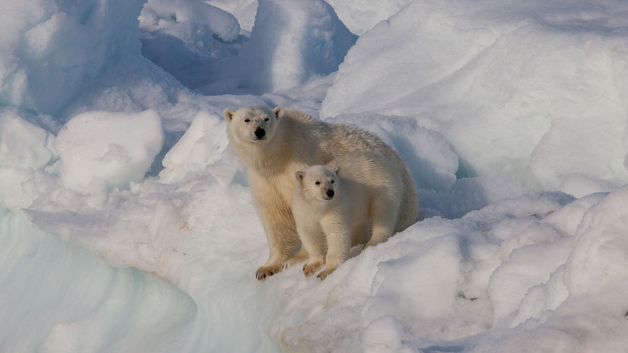 ours-polaire-neige-ourson