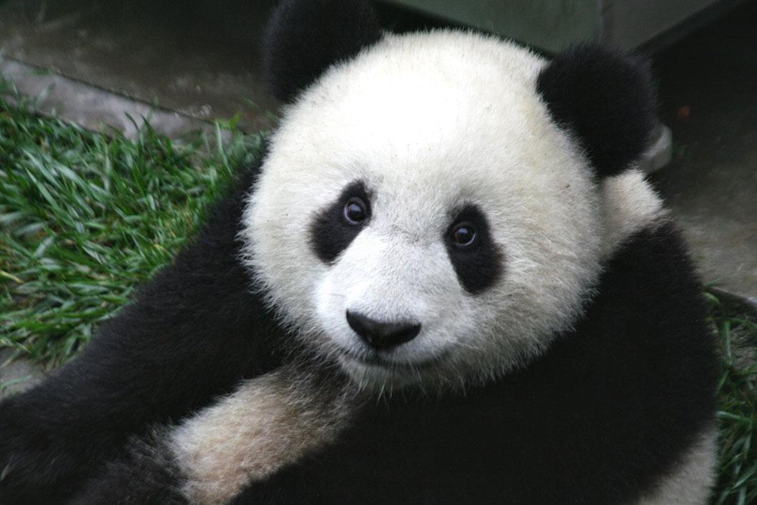 panda-bebe