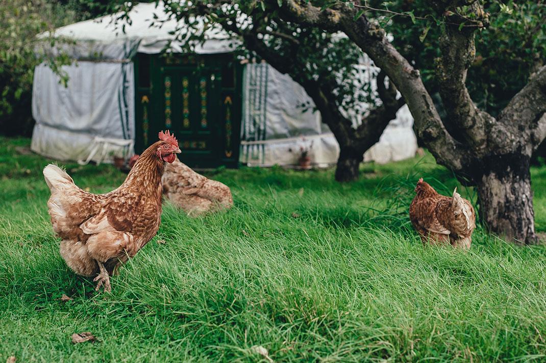 poule-oeufs-plein-air