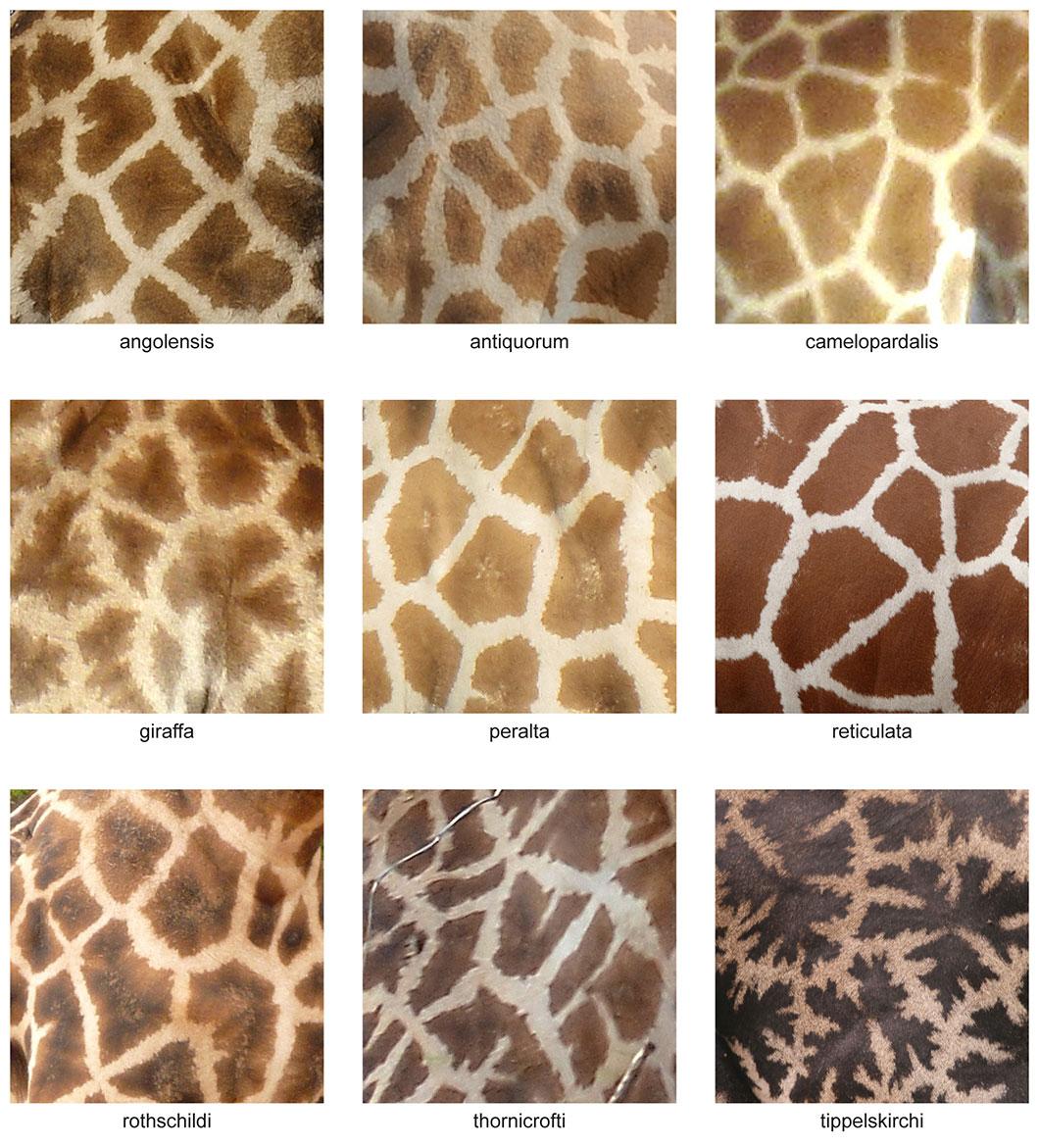 """Les sous-espèces de la """"Giraffa Camelopardalis"""" se distinguent notamment grâce à leur robe"""