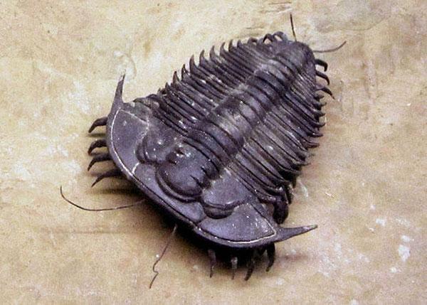 trilobite-fossile