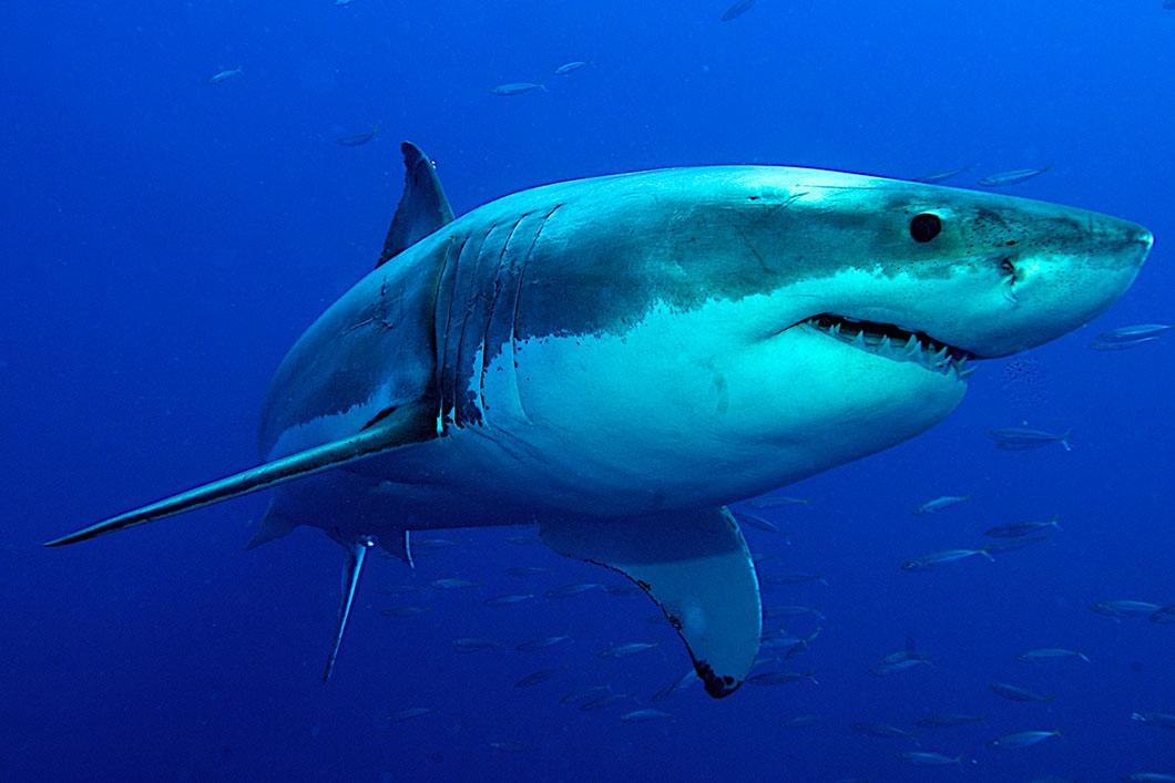 un-requin