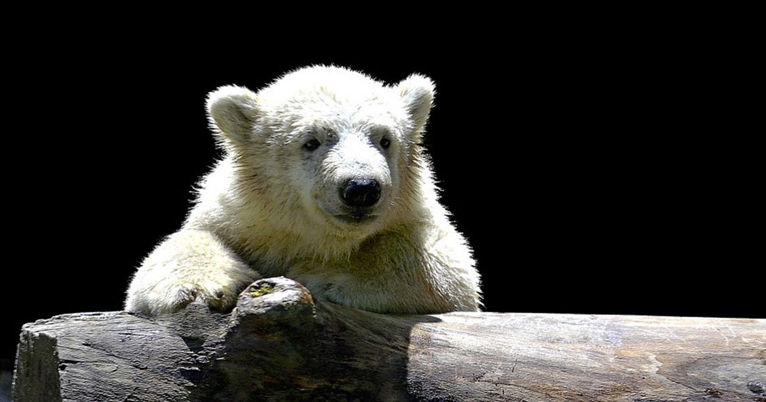 une-ours-polaire