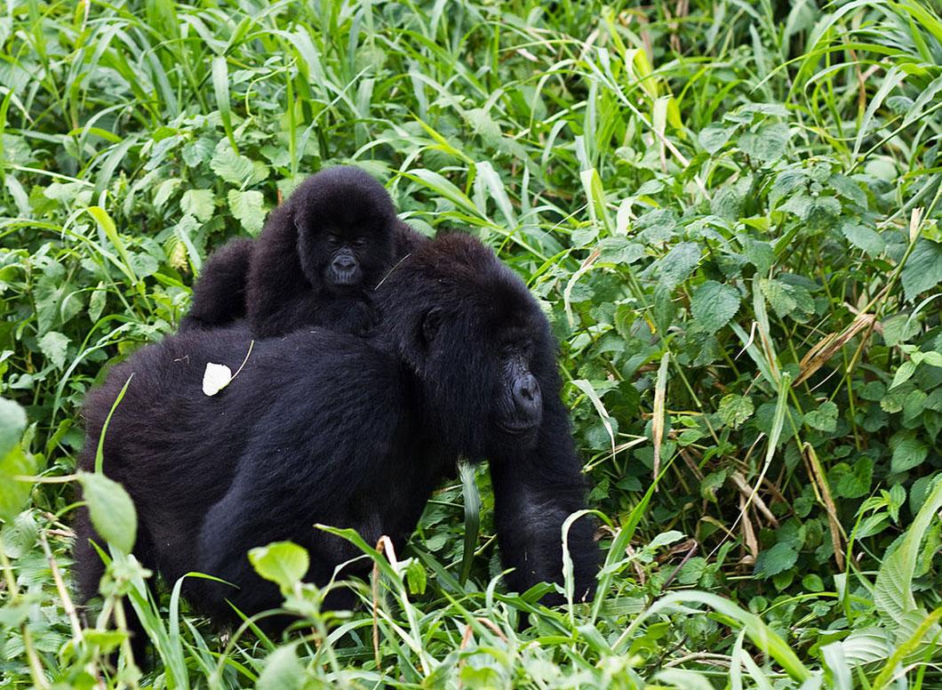Malgré tout, les gorilles de montagne sont en hausse