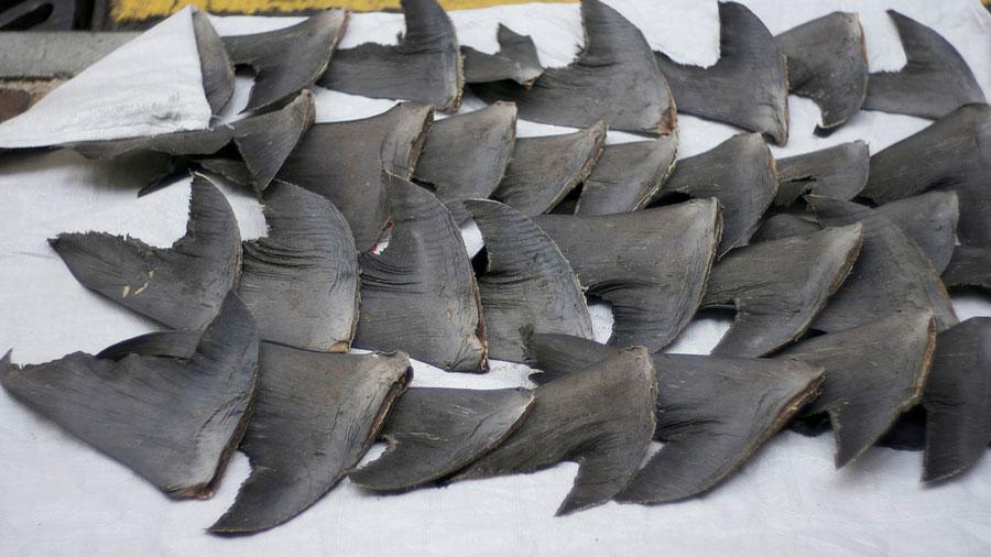 ailerons-requin