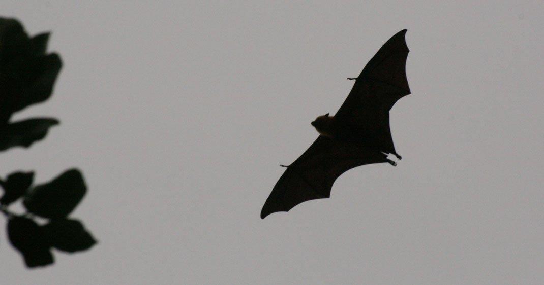 Des Chauves Souris Sen Prennent Désormais à Lhomme Et Ce Nest