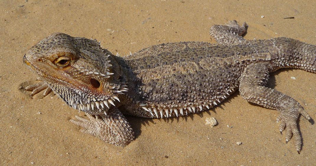 dragon-barbu