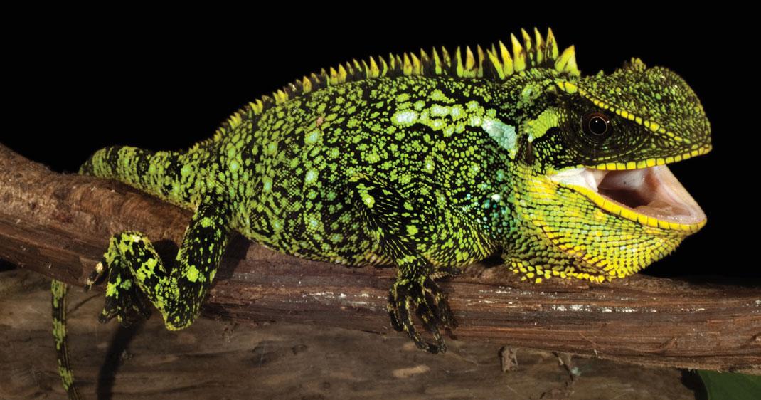 dragon-des-andes