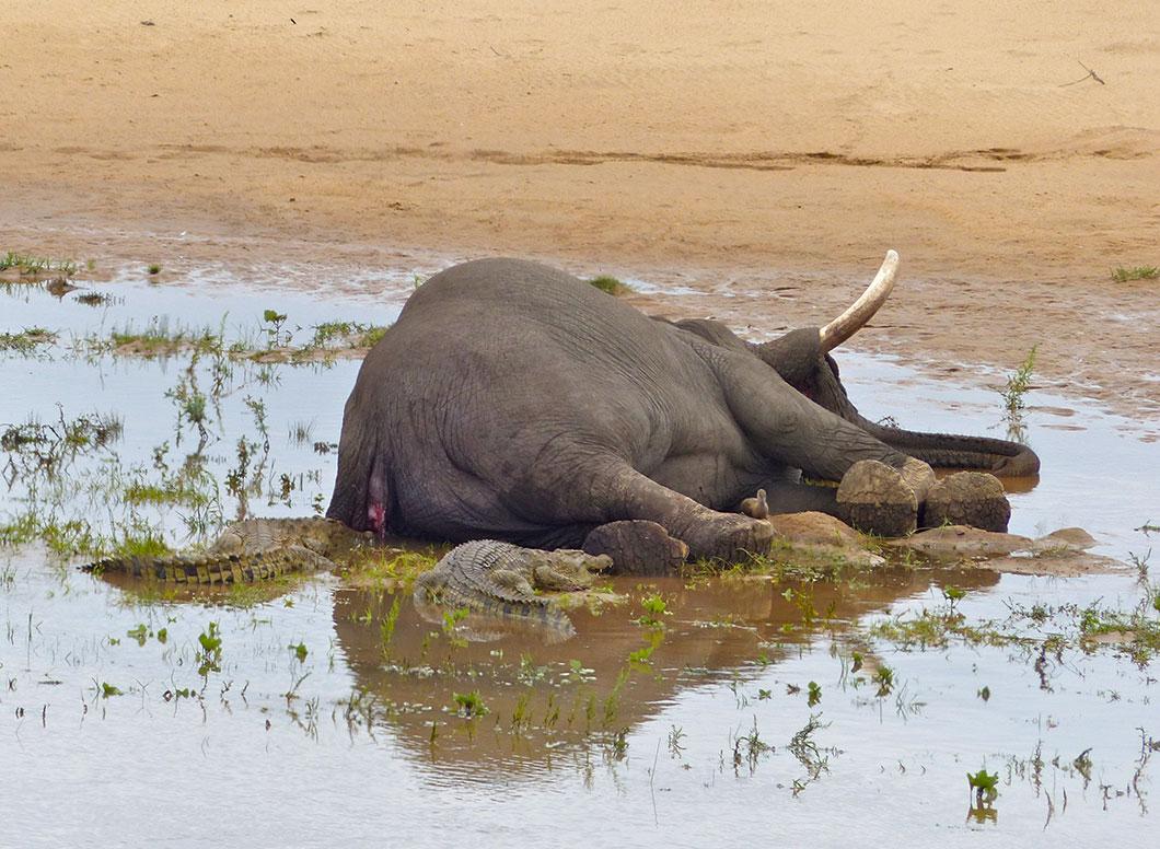 elephants-morts