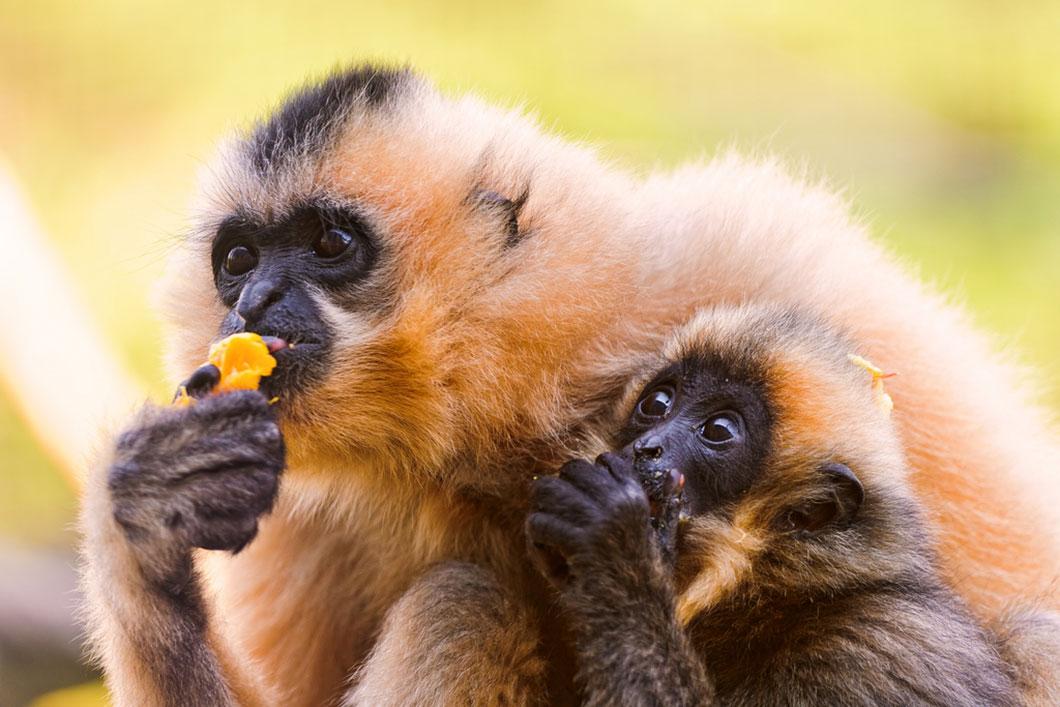 Il reste moins de 30 gibbons de Hainan en Chine