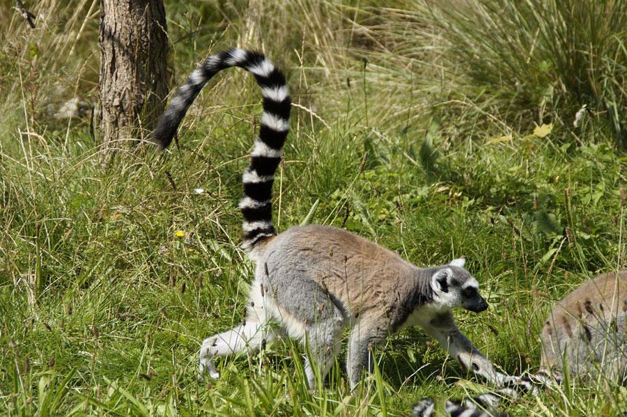 lemurien-marchant