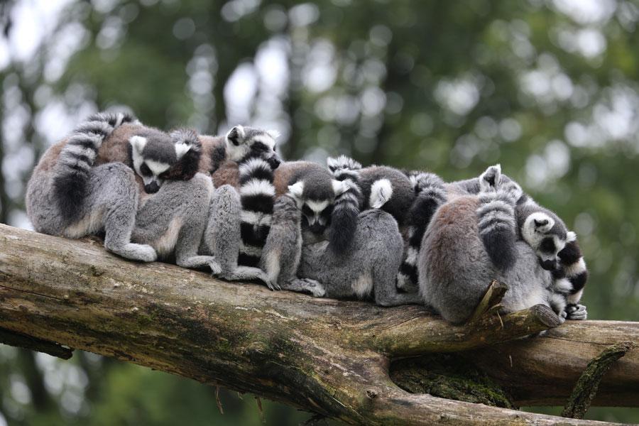 lemuriens-famille