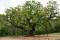 """The """"Major Oak"""" un chêne de plus de 1000 ans d'âge, emblème de la forêt de Sherwood, sous lequel se réfugiait Robin des Bois"""