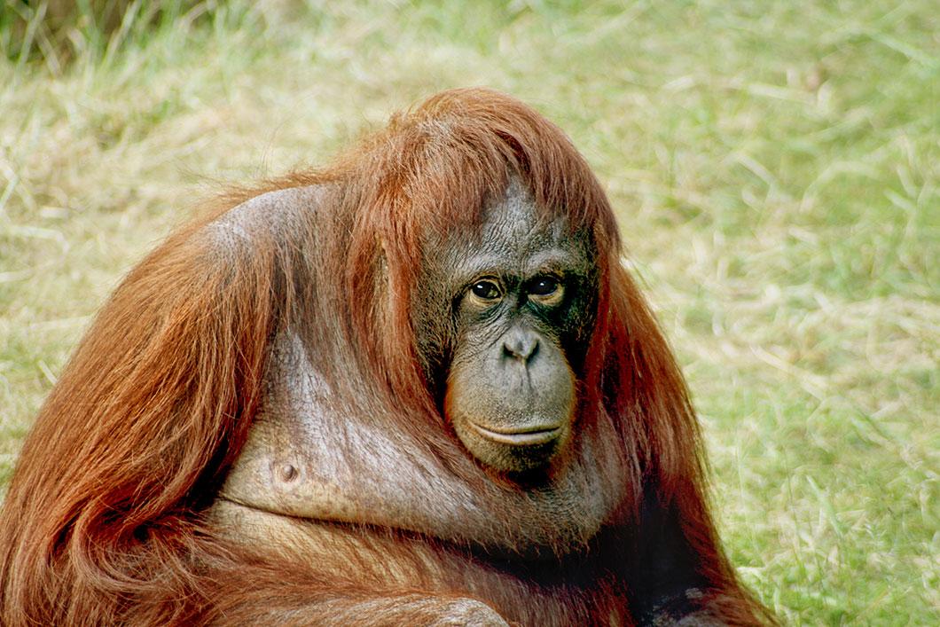Les orang-outan de Bornéo ont perdu 60 % de leur habitat entre 1985 et 2007 à cause des plantations d'huile de palme