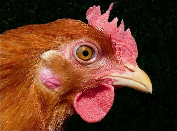 portrait-poulet