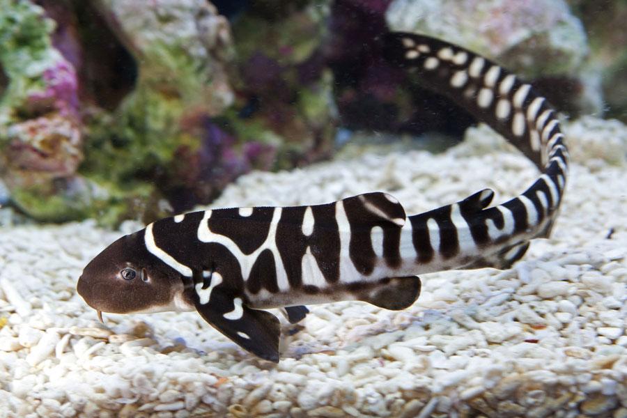 requin-zebre-bebe