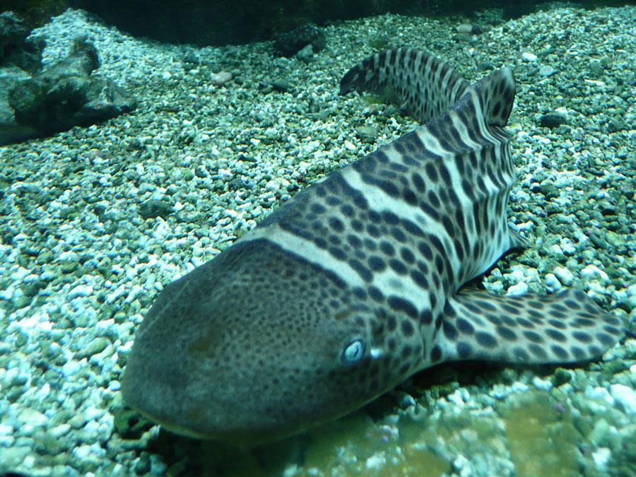 requin-zebre-nageant
