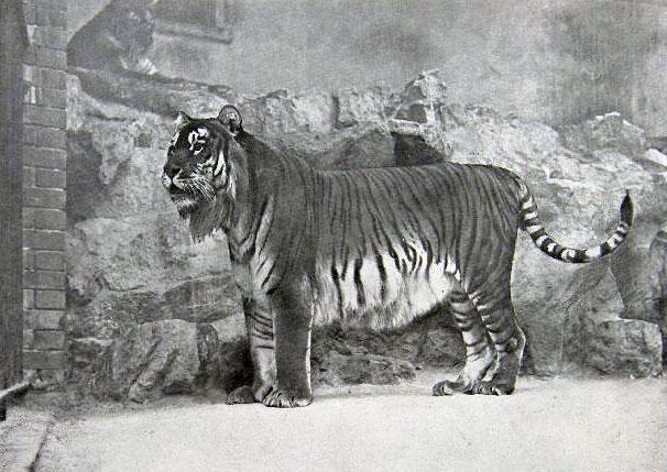 tigre-caspienne