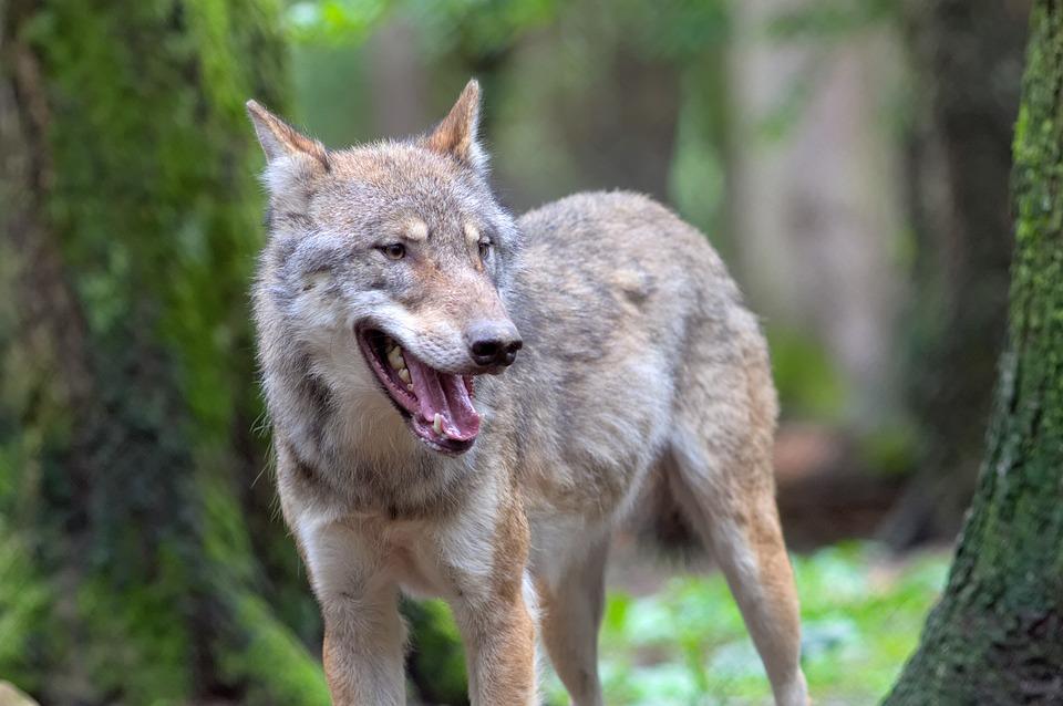 wolf-1458802_960_720