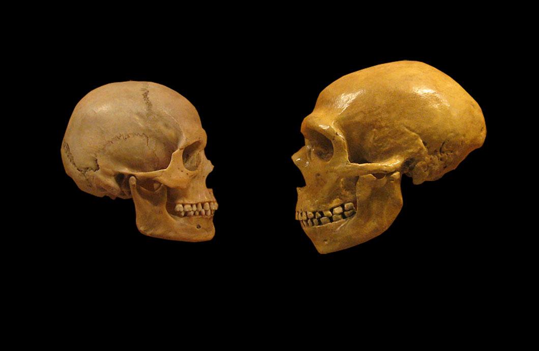 Crâne de l'Homo Sapiens vs. l'homme de néandertal