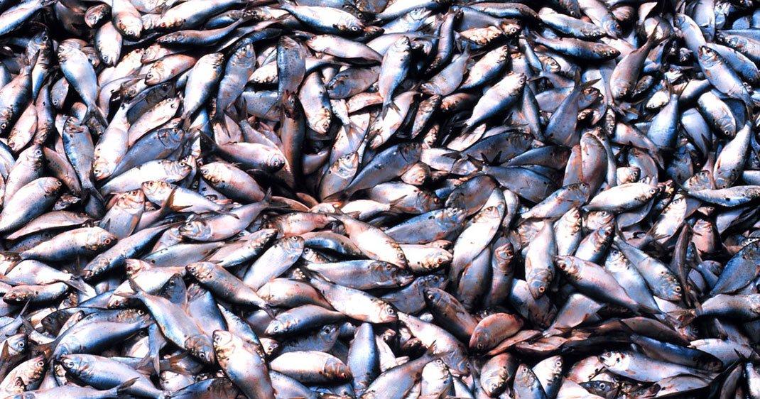 Une destruction irrévocable des stocks de poissons