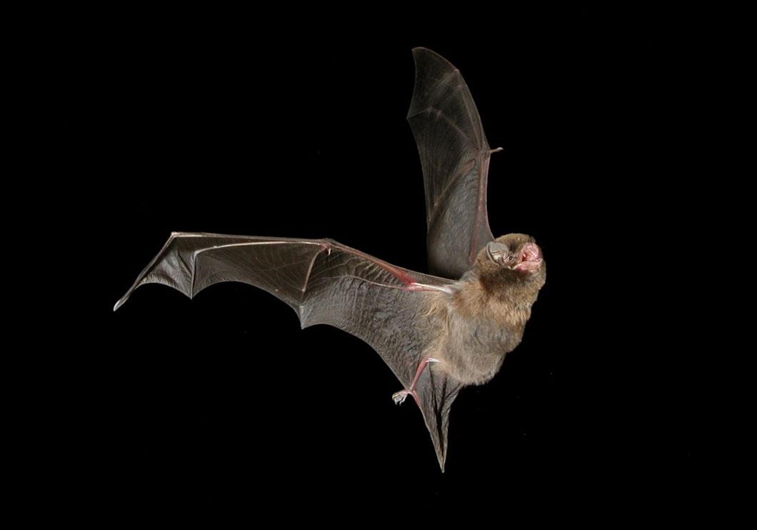 16 faits fascinants sur les chauves souris - Image de chauve souris ...