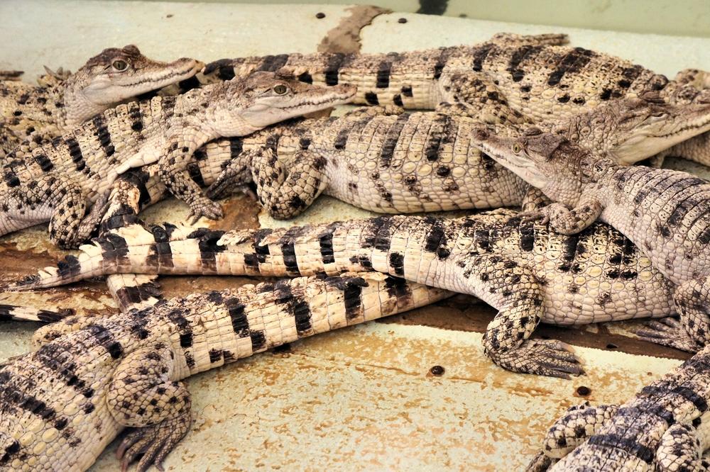 parc-crocodile