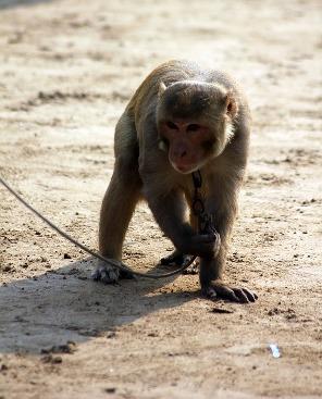 Un singe tenu en laisse