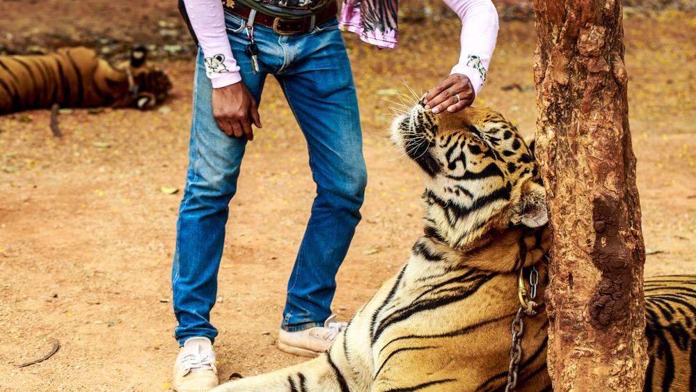 tigre-enchaine