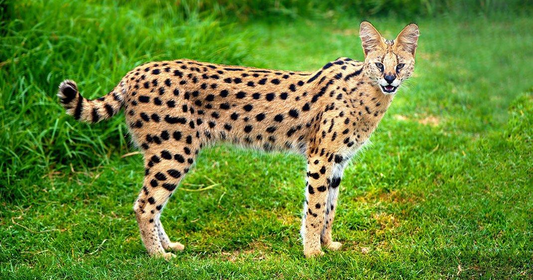 21 espèces de chats sauvages dont vous ne soupçonniez pas l
