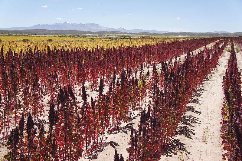 La consommation de quinoa en occident d truit la vie de for Plante quinoa