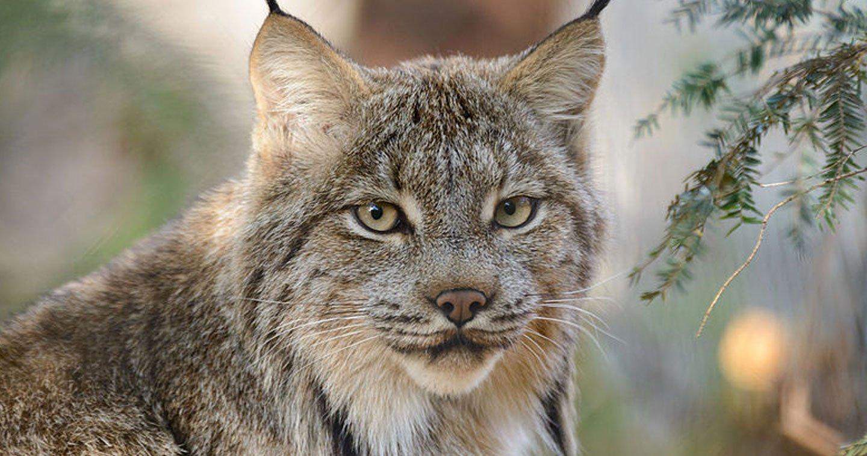 ce lynx risque l extinction et voil que trump d cide de le retirer des esp ces prot g es. Black Bedroom Furniture Sets. Home Design Ideas