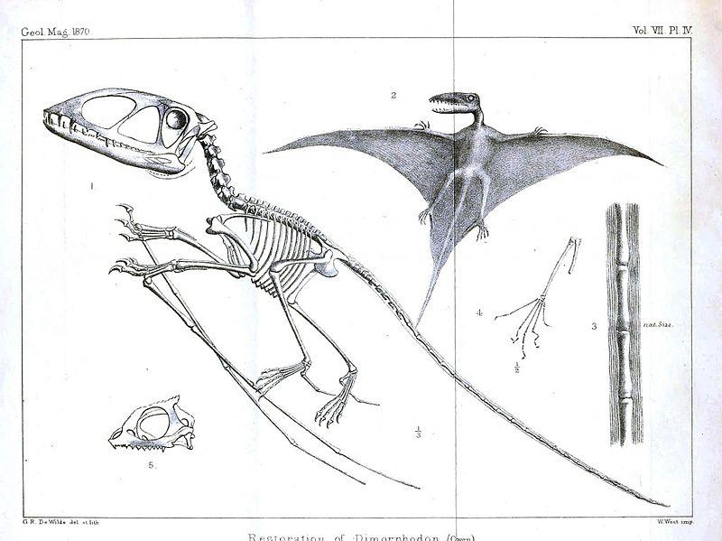 5 informations méconnues mais fascinantes à propos des dinosaures ! Par Thomas Le Moing                           Pterodactyl-squelette