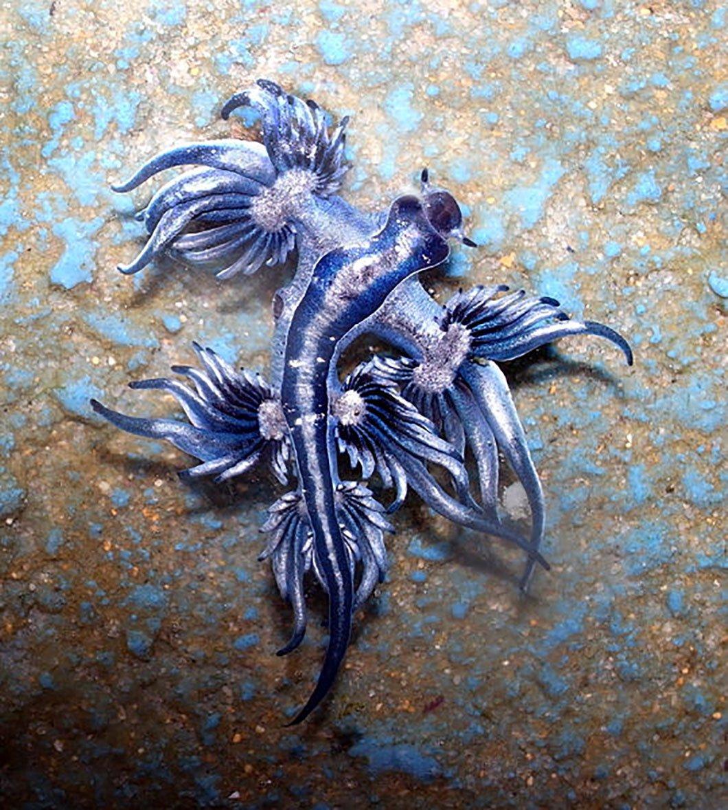 Dragon Bleu Animal découvrez le dragon bleu des mers, cet étrange animal qui semble