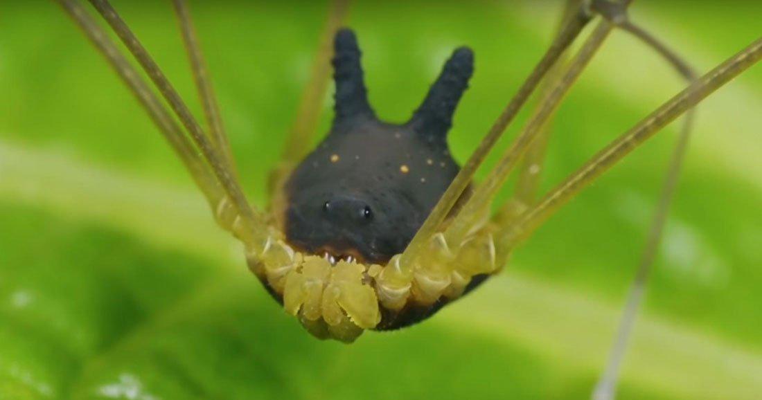 Faucheux Araignée cet étrange animal n'est ni une chauve-souris ni une araignée
