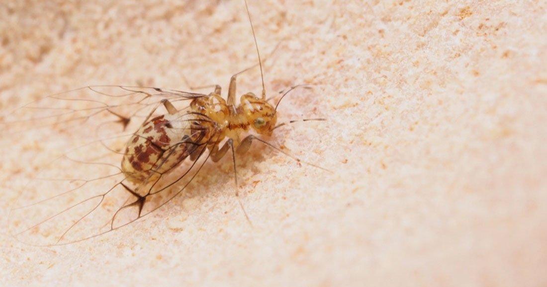 insecte penis