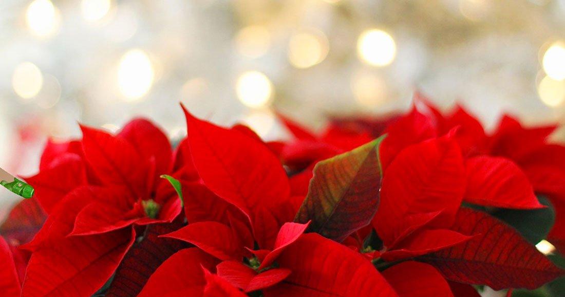 Image Fleur Noel.Le Poinsettia Cette Superbe Plante Rouge Qui Symbolise