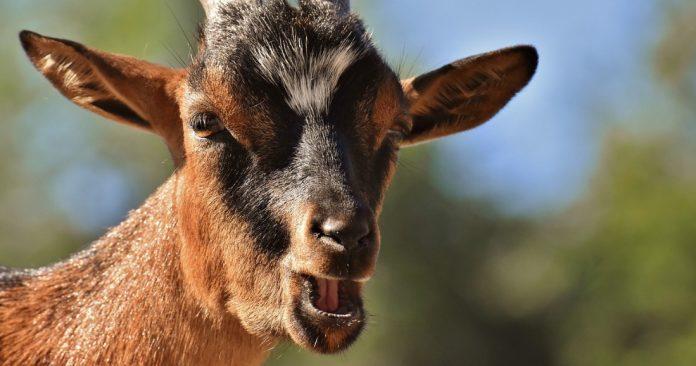 les chèvres ont un accent