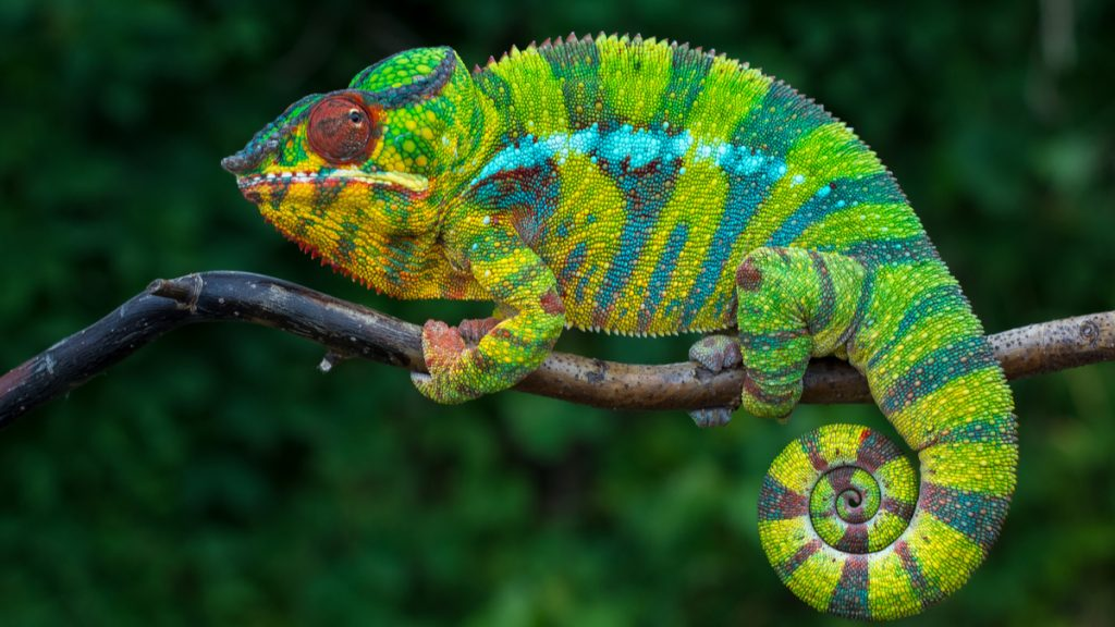Pourquoi et comment le caméléon change de couleur