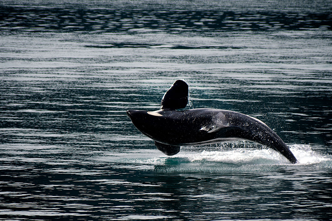 orque-saut