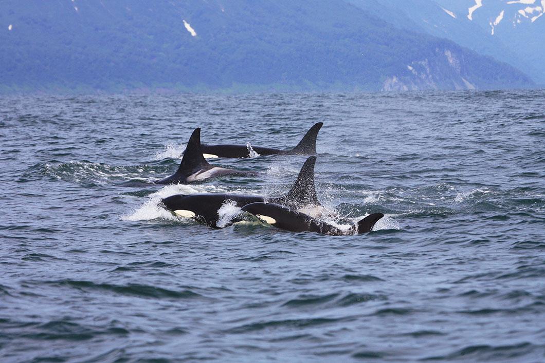 Un groupe d'orques via Deposit Files